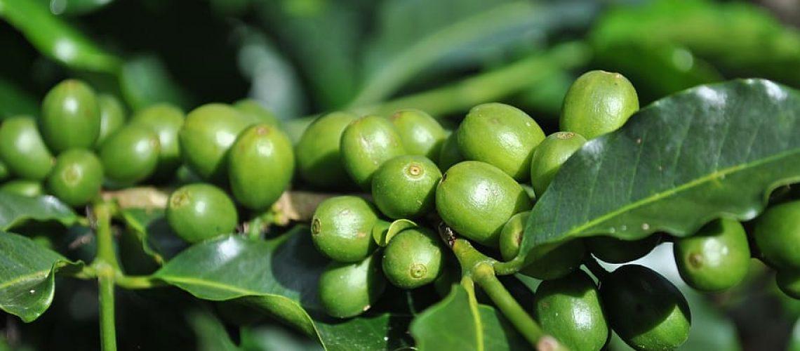 דיאטת פולי קפה ירוק